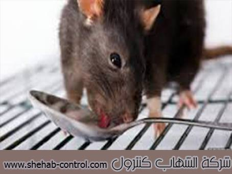 مكافئة الفئران بالخرج
