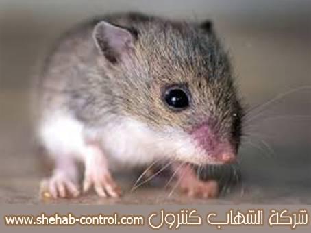 مكافحة الفئران بالرياض بالضمان