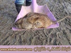 مكافئة الفئران بخميس مشيط