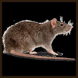 مكافئه الفئران بالطائف