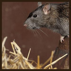 مكافحة الفئران الطائف