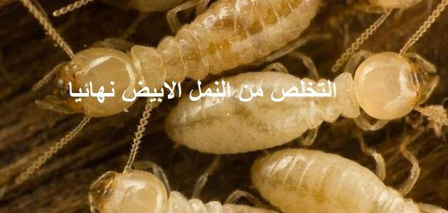 من النمل الابيض نهائيا 1