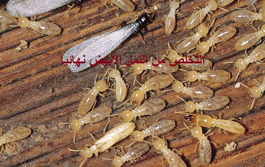 التخلص من النمل الابيض نهائيا