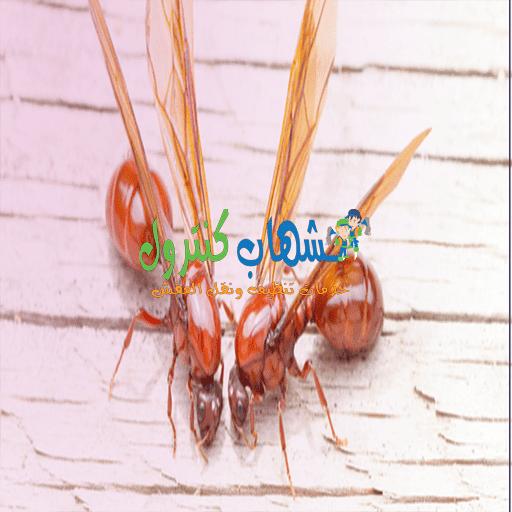 النمل الطائر