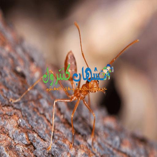 النمل الأحمر